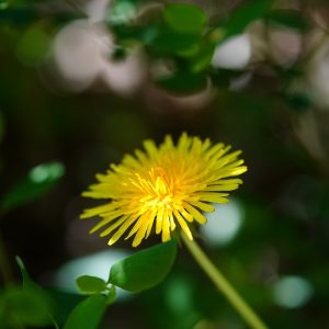 dandelion, yellow, plant